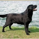 INT , USA, FR, NL, LUX, UK SHCH, 2002 EUROPEAN VICE CHAMPION - BUNDESSIEGER 2002 RESERVE CC : CRUFTS 2003 Ole
